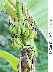 Green bananas on a tree in garden