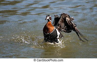 Goose in lake