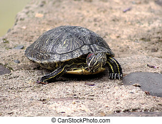 Red Eared Slider Terrapin - Close-up of Red Eared Slider...