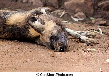 African Wild Dog Taking Sand Bath - Picture of an African...