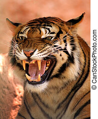 Angry Face Tiger - Picture of a Very Angry Growling Tiger...