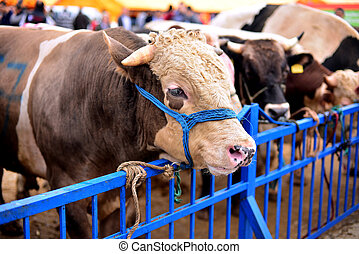cattle waiting for slaughter - animals due to iron