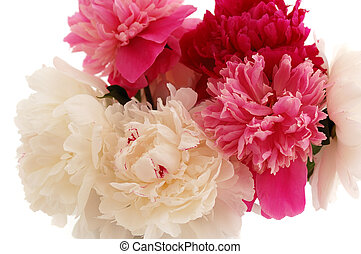 peony isolated on white
