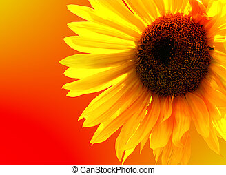 Sunny miracle - Sunflower isolated on colours of fire
