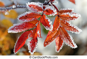 Frost on Rose Leaflets - Frost on the colorful rose leaflets...