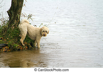 Labradoodle playing in loch - A beautiful pedigree...
