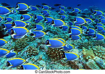 Powder blue tang - Shoal of powder blue tang in the coral...