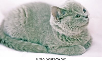 Grey cat sit and looks around follows something, closeup at...