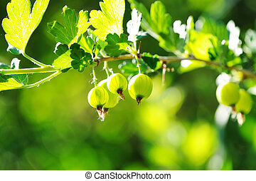Gooseberries - Green gooseberries on the branch