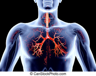 Internal Organs - Bronchial Arteries - The internal adrenal...