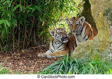Two Amur Tiger Cubs in Rocky Shelter - Two Cute Amur Tiger...