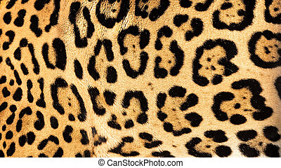 Real Jaguar Fur Texture Background - Real Live Jaguar Skin...