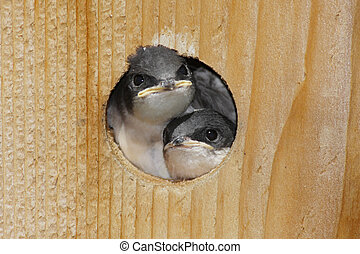 Pair of Baby Tree Swallo - Pair of Baby Tree Swallows...