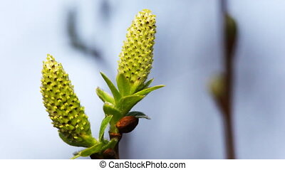two blossoming willow buds on branches swaying in wind,...