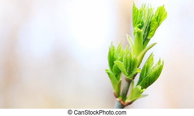 leaves begin to blossom on branch of tree in spring,...