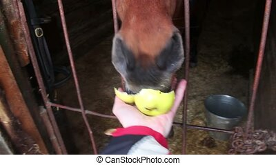 Horse stand in stable and eat apple from hand