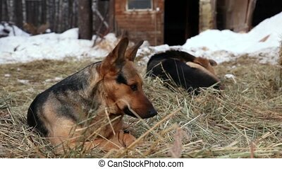 Two dogs lie on hay in snow, wooden building at background