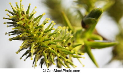 blossoming willow bud on branches swaying in wind, close-up