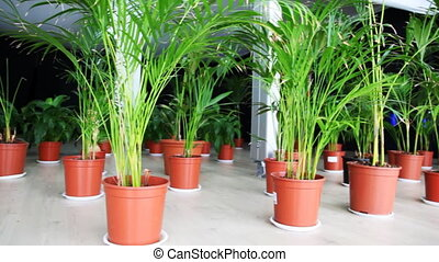 plants of family palm in pots on floor at hall, panorama...