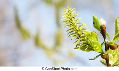 blossoming spring willow bud on branches swaying in wind