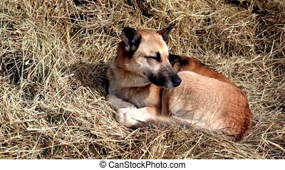 Sheep dog lies on hay and look around, snow falls at sunny...
