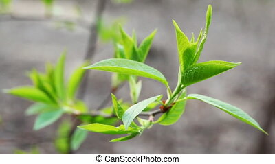 young green leaves on branch of tree swaying in spring,...
