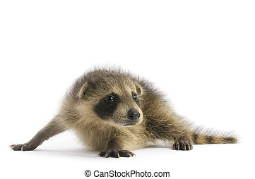 Young Raccoon on white background.