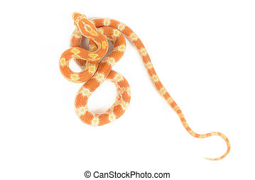 Baby Corn Snake - Baby corn snake on white background