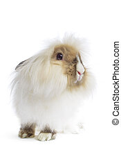angora lion head rabbit on white
