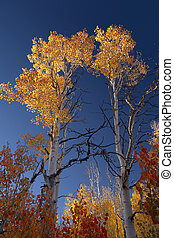Autumn Aspen Trees - Yellow Autumn Aspen trees, Sierra...