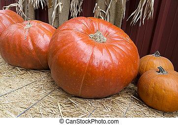 Giant Pumpkins at Harvest Time