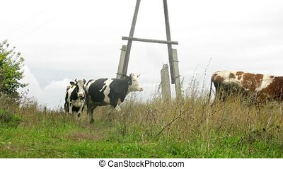 Cows go and are grazed near electrical pole, time lapse