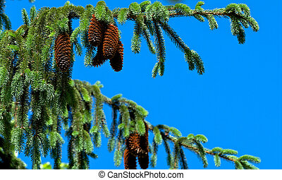 Pine Tree and Cones on Blue Sky closeup