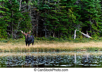 Curious Moose in the forest close to lake - Curious Moose in...