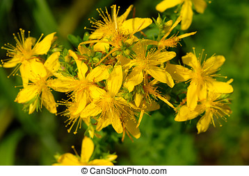 Hypericum perforatum - Top view of herb plant St. John\\\'s...