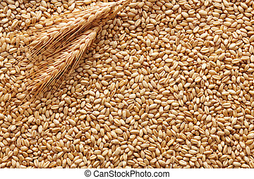 wheat background - wheat ears on wheat kernels as background