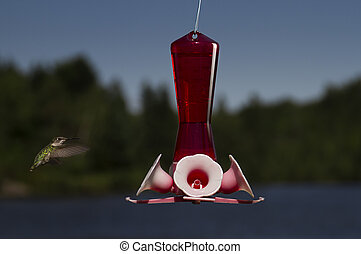 ruby hummingbird in mid-flight going to a bird feeder