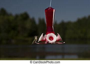 Pitstop for food - female ruby hummingbird on a bird feeder