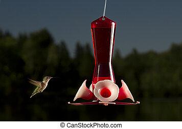 Going for a sip - female ruby hummingbird near a bird feeder
