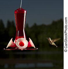 Nectar time - female ruby hummingbird in full flight going...