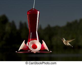 hummingbird going to feed - female ruby hummingbird heading...