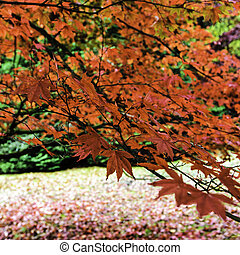 Red Japanese Maple or Acer - Red Japanese Maple or Acer in...