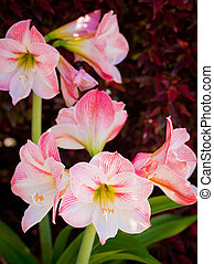 light pink amaryllis