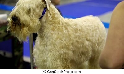 Woman comb hair to prepare dog of Irish Soft Coated Wheaten Terrier breed before show