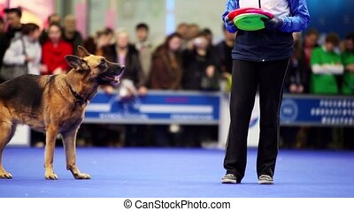 Female master throws frisbee and her dog of caucasian...