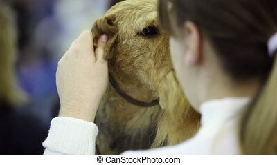 Girl massages ear of her dog of irish terrier breed