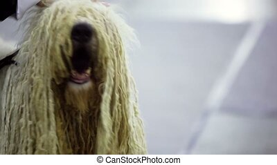 Owner pats dog of komondor breed with curls, closeup view