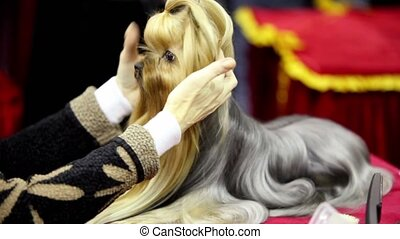 Owner corrects hair of little dog of yorkshire terrier...
