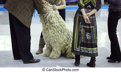 Jury watch teeth of dog of bergamasco shepherd breed at contest