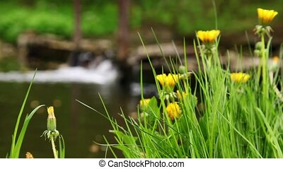 Dandelions on green grass, focus on flower at background of waterfall